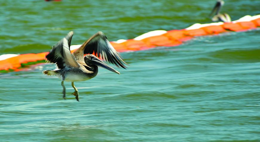 photo of pelican flying over oil spill clean up